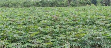 Piantagione della manioca Immagini Stock