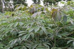 Piantagione della manioca Fotografia Stock