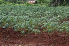 Piantagione della manioca Immagine Stock