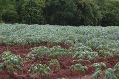 Piantagione della manioca Fotografie Stock