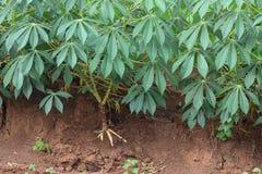 Piantagione della manioca Immagine Stock Libera da Diritti