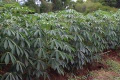 Piantagione della manioca Immagini Stock Libere da Diritti