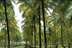 Piantagione della noce di cocco Immagine Stock