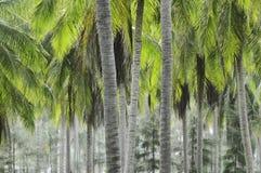 Piantagione della noce di cocco Fotografie Stock Libere da Diritti
