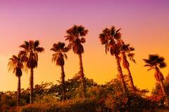 Piantagione della palma da datteri Immagini Stock