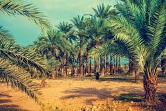 Piantagione della palma da datteri Immagine Stock Libera da Diritti