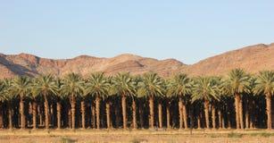 Piantagione della palma da datteri - Sudafrica Immagine Stock