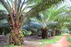 Piantagione della palma da olio Immagine Stock