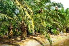 Piantagione della palma da olio fotografie stock libere da diritti