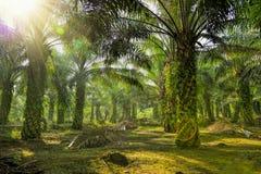 Piantagione della palma da olio Fotografia Stock