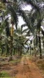 Piantagione della palma da olio della Malesia Fotografia Stock