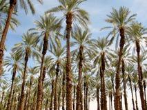Piantagione della palma di phoenix dactylifera (data o palma da datteri) Fotografia Stock