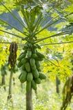 PIANTAGIONE DELLA PAPAIA DI AGRICOLTURA DELLA TAILANDIA CHIANG RAI Fotografia Stock Libera da Diritti