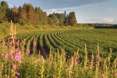 Piantagione della patata in azienda agricola della Russia del nord prima del tramonto Fotografia Stock