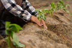 Piantagione della patata dolce dall'agricoltore esperto Fotografia Stock