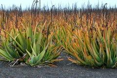 Piantagione della pianta medicinale di vera dell'aloe in isole Canarie Immagine Stock Libera da Diritti