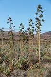 Piantagione della pianta medicinale di vera dell'aloe su Fuerteventura Immagini Stock Libere da Diritti