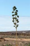 Piantagione della pianta medicinale di vera dell'aloe su Fuerteventura Immagine Stock