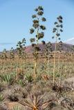 Piantagione della pianta medicinale di vera dell'aloe su Fuerteventura Fotografie Stock