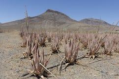 Piantagione della pianta medicinale in isole Canarie, S di vera dell'aloe Immagini Stock Libere da Diritti