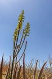 Piantagione della pianta medicinale in isole Canarie, S di vera dell'aloe Fotografie Stock