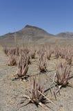 Piantagione della pianta medicinale in isole Canarie, S di vera dell'aloe Fotografia Stock Libera da Diritti