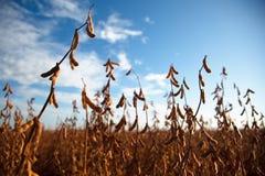 Piantagione della soia Immagine Stock Libera da Diritti