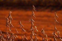 Piantagione della soia fotografia stock libera da diritti