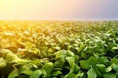 Piantagione della soia nel primo mattino Agricoltura della soia Fotografia Stock