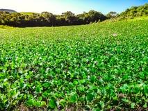 Piantagione della soia in un'azienda agricola nel sud del Brasile immagini stock libere da diritti