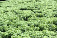 Piantagione della tapioca Fotografie Stock Libere da Diritti
