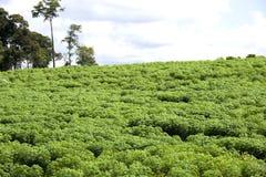 Piantagione della tapioca Fotografie Stock