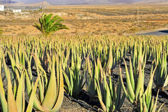 Piantagione della vera dell'aloe a Fuerteventura, Spagna Fotografia Stock
