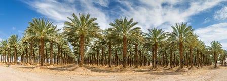Piantagione delle date Industria tropicale di agricoltura in Medio Oriente Fotografia Stock Libera da Diritti
