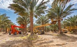 Piantagione delle date, manutenzione Industria tropicale di agricoltura in Medio Oriente Immagine Stock Libera da Diritti