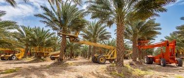 Piantagione delle date, manutenzione Industria tropicale di agricoltura in Medio Oriente Fotografia Stock Libera da Diritti