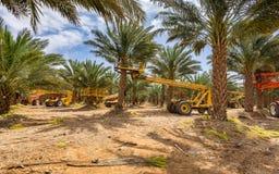 Piantagione delle date, manutenzione Industria tropicale di agricoltura in Medio Oriente Fotografie Stock