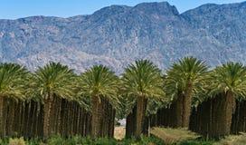 Piantagione delle palme da datteri vicino ad Eilat Fotografia Stock Libera da Diritti