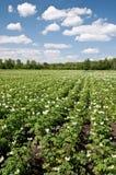 Piantagione delle patate Fotografie Stock