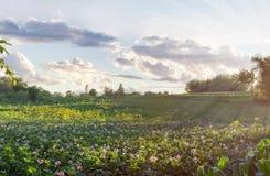 Piantagione delle patate di fioritura al tramonto fotografia stock