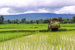 Piantagione delle risaie, azienda agricola asiatica organica del riso ed agricoltura Immagini Stock