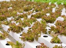 Piantagione delle verdure della lattuga di foglia Fotografia Stock Libera da Diritti
