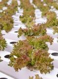 Piantagione delle verdure della lattuga di foglia del corallo rosso Fotografia Stock Libera da Diritti
