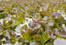 Piantagione delle verdure della lattuga di foglia della quercia rossa Fotografie Stock Libere da Diritti