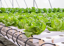 Piantagione delle verdure della lattuga di foglia di Butterhead Fotografia Stock