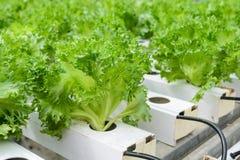 Piantagione delle verdure della lattuga di foglia di Fillie Iceburg Fotografia Stock