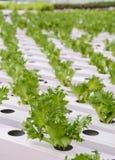 Piantagione delle verdure della lattuga di foglia di Fillie Iceburg Fotografia Stock Libera da Diritti