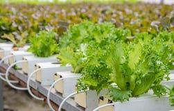 Piantagione delle verdure della lattuga di foglia di Fillie Iceburg Fotografie Stock Libere da Diritti