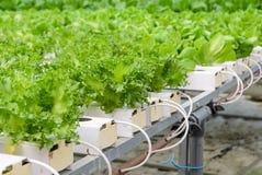 Piantagione delle verdure della lattuga di foglia di Fillie Iceburg Immagini Stock