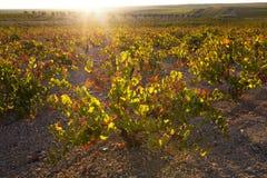 Piantagione delle viti nell'ambito della luce di tramonto di ottobre a Tierra de Barros Immagini Stock Libere da Diritti